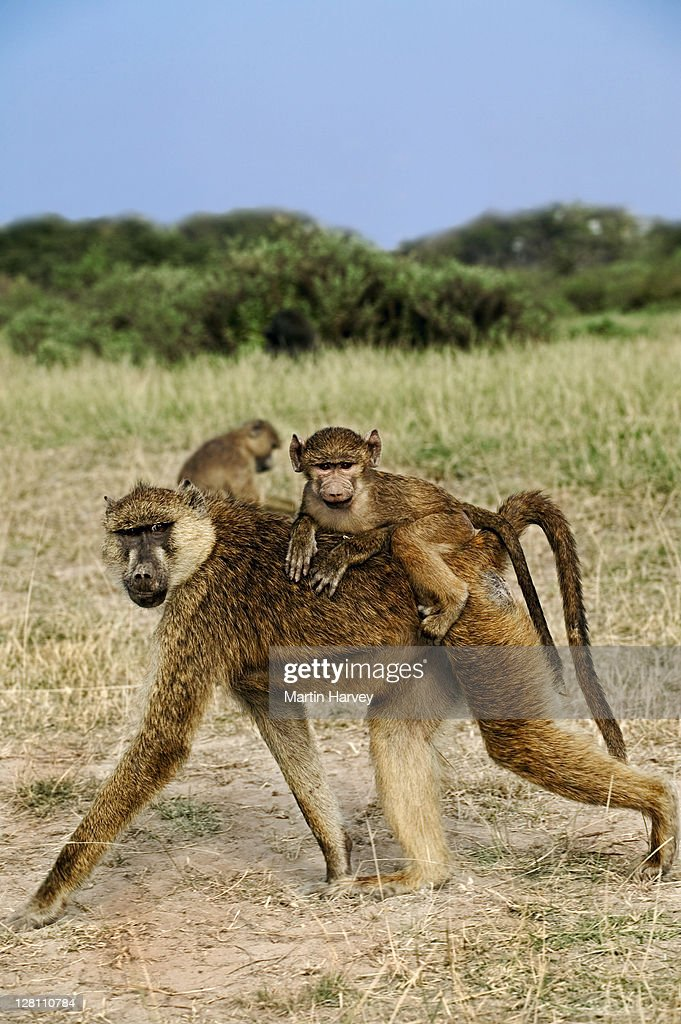 Female Yellow baboon, Papio cynocephalus, with baby. Usually one young is born at a time. Babies first cling to their mothers chest, but later ride jockey-style. Amboseli National Park Kenya. Dist. Central and East Africa