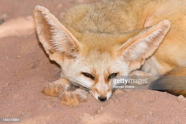 Fennec Fox (Canis zerdus), Libya, Africa