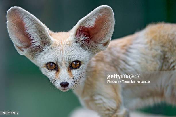 Fennec looking at the camera