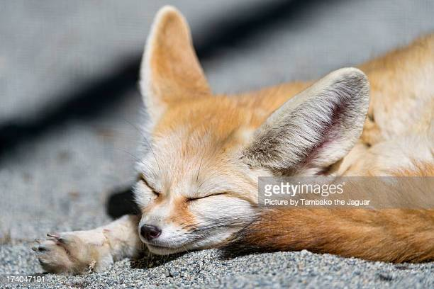 Fennec sleeping in the sun