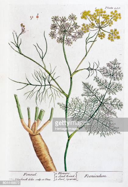 Fennel 1782 Plate 288 from A Curious Herbal by Elizabeth Blackwell published in 1782 Artist Elizabeth Blackwell