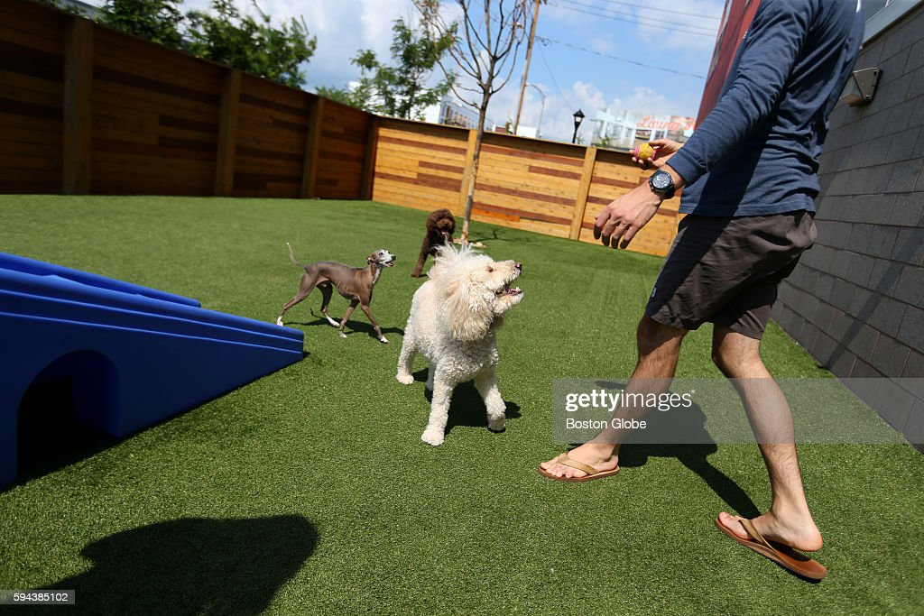 Fenway romps around at outside play area at apartment complex One Hundred Heard Street built by One North of Boston a complex of apartments in...