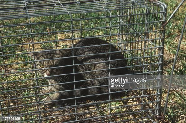 Feral cat Felis catus caught in live trap Perth Western Australia