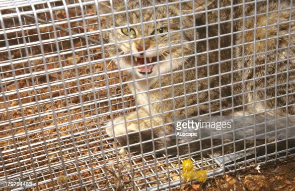 Feral cat Felis catus in trap Wiluna Western Australia