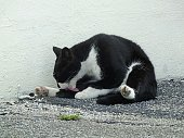 Feral cat cleaning itself.