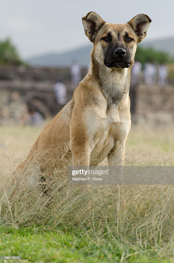 Feral dog in high grass. Teotihuacan, Mexico. : Stock Photo
