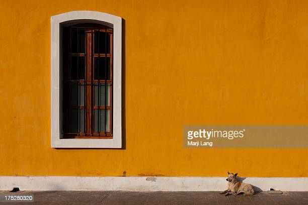 Feral dog resting near a window by a yellow wall