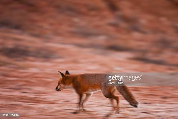A feral fox hunts around a water hole