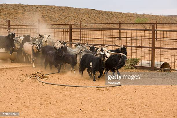 Feral goats Capra aegagrus hircus being rounded up many to become exported meat Goatskin is a byproduct Nantawarrina Indigenous Protected Area Leigh...