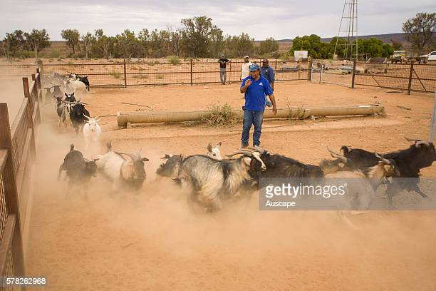 Feral goats Capra aegagrus hircus being rounded up Nantawarrina Indigenous Protected Area Leigh Creek South Australia Australia