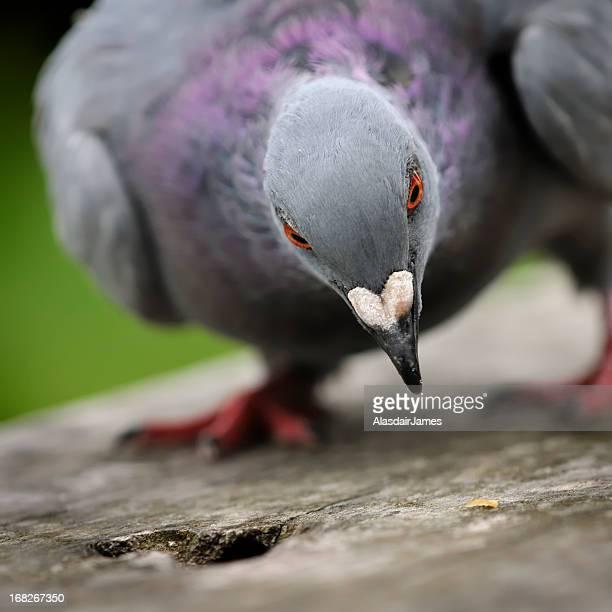 A feral pigeon, Columba livia, pecks at food