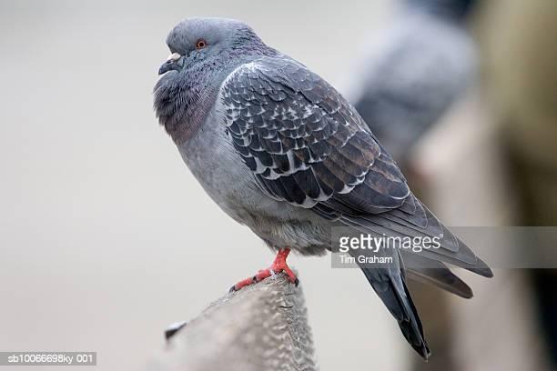 Feral Pigeon, San Francisco, USA