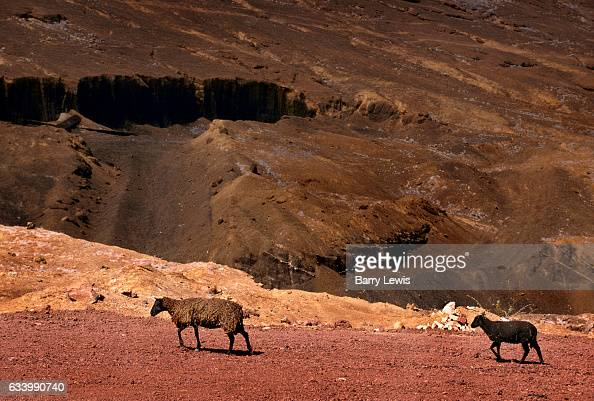 Feral sheep introduced by sailers in the 19th century 27th May 1997 on Ascension a small isolated volcanic island in the equatorial waters of the...