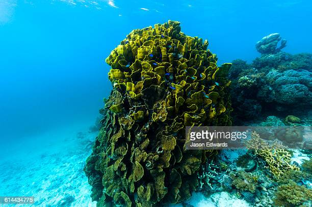 The twisted and wave-like folds of an enormous Vase Coral colony emerging from the ocean floor in a tropical reef.