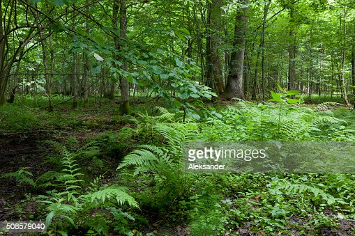 Farn Bundles im Sommer Wald Stand : Stock-Foto