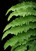 A fern covered in raindrops on a black background