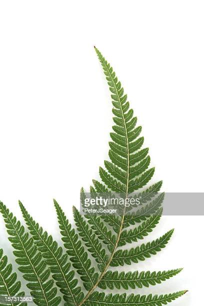 Fern frond against a white background