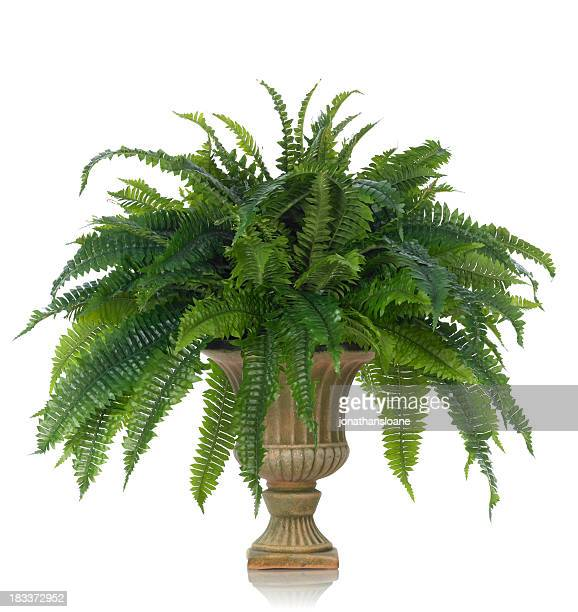 Fern in an Urn on a white background