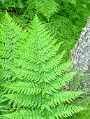 A large fern growing in the forest of Alaska. On this bright day in June it was a beautiful reminder of all that a hike has to offer. Natural beauty abounded on this day.