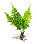 Fern with roots and frond (without soil) isolated on white background