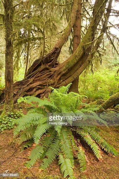Ferns and cedars growing in Hoh Rainforst, Olympic National Park, Olympic Penninsula, Washington, USA.