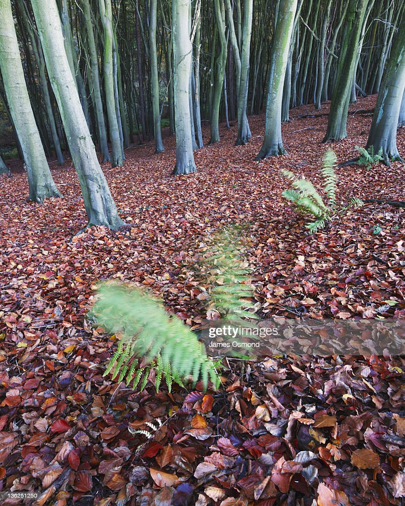 Ferns and Leaf Litter in Beech Woodland. : Stock Photo