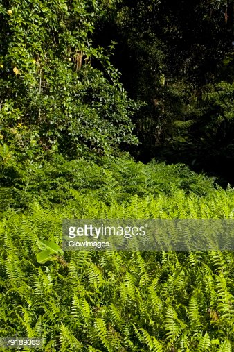 Ferns in a forest, Akaka Falls State Park, Hilo, Big Island, Hawaii Islands, USA : Stock Photo