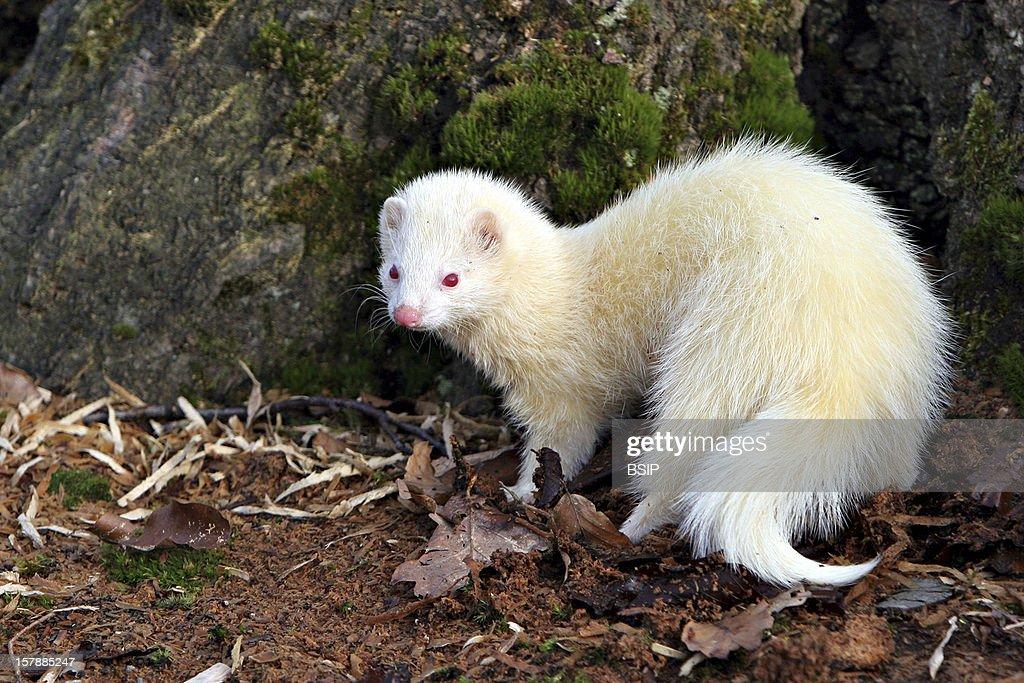 Ferret Albino Ferret (Mustela Putorius Furo).Picardy, France.