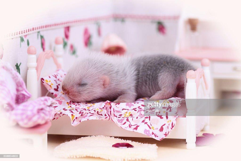 Furão doméstico bebê em Casa de Boneca : Foto de stock
