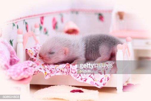 Ferret baby in doll house : Stock Photo