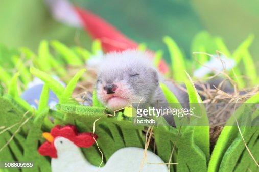 Furão doméstico bebé no Ninho de feno : Foto de stock