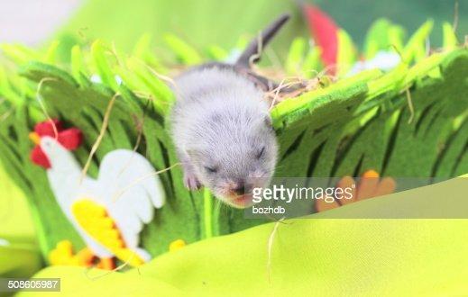 Ferret baby in the nest of hay : Stock Photo