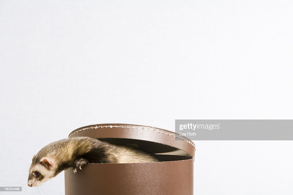 ferret escaping from hat box