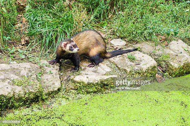 Ferret is standing next to a small lake at the zoo