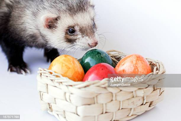Ferret looking for colorful easter eggs