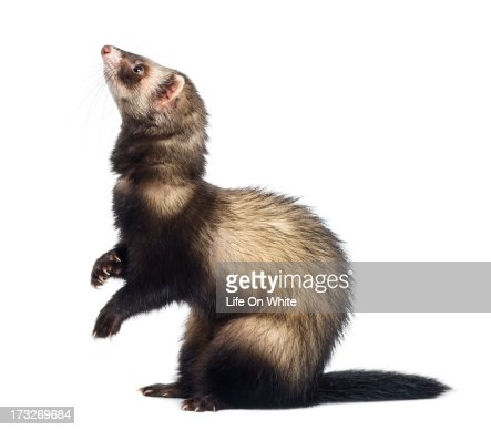 Ferret standing on hind legs and looking up : Stock Photo