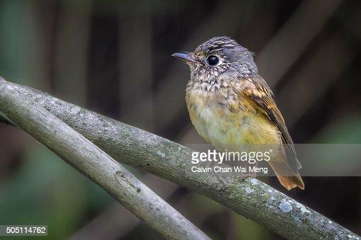 Ferruginous flycatcher - Birds found in Singapore
