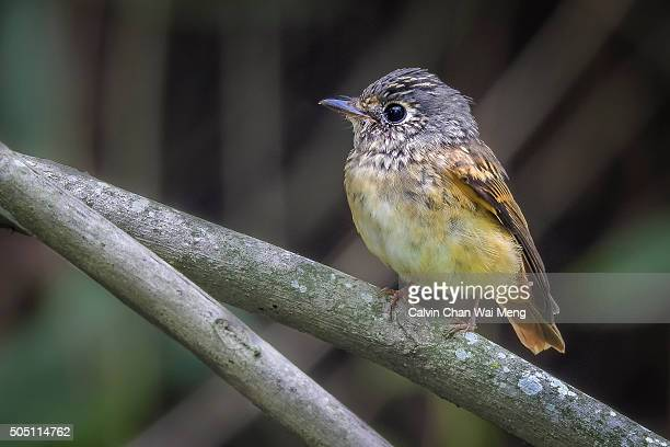 Ferruginous flycatcher - Birds found in Singapore