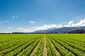 Organic Crops Grow on Fertile Farm Field in California. Vegetables in a row, clear skies and mountains in the background.