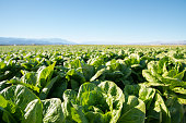 Field of organic lettuce growing in a sustainable farm in California with mountains in the back.