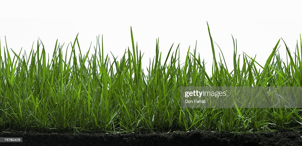Fescue grass with earth : Stock Photo