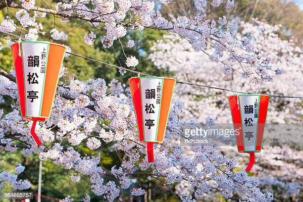 Festival lanterns and cherry blossoms