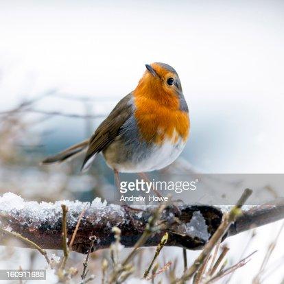 Festive Robin (Erithacus rubecula)