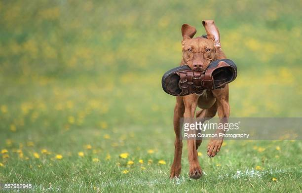 Fetching Dad's Sandal