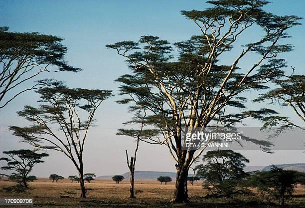 Fever tree or Acacia Serengeti National Park Tanzania