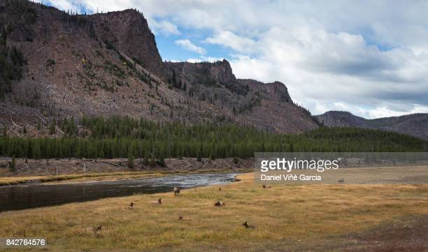 A few Elk in a field, Yellowstone National Park, Wyoming, USA