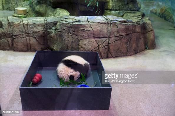 A few hundred panda fans arrived to see a sleeping 5 month old Bei Bei at the Washington National Zoo in Washington DC on January 16 2016 Bei Bei the...