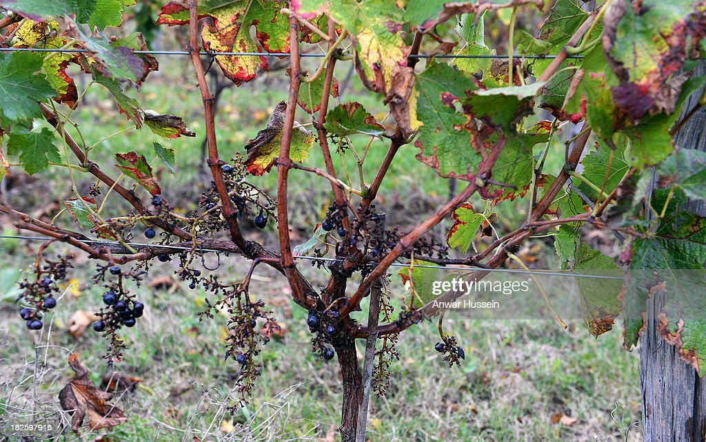 A few Merlot grapes remain on the vines after the harvester has passed at Chateau Fontcaille Bellevue on October 1, 2013 in Bordeaux, France. The hot humid weather means that the Merlot wine harvest (vendange) has been brought forward in a race against rot.
