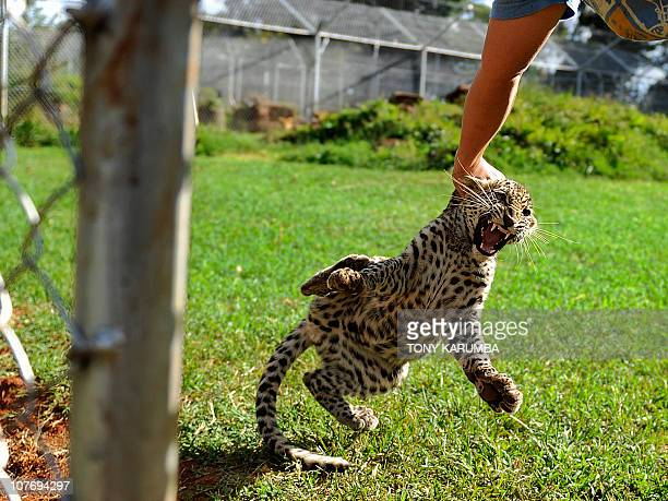 A few months old Leopard cub christened 'Eve' snarling at her handler in its enclosure on December 14 2010 at the Nairobi animal orphanage during a...