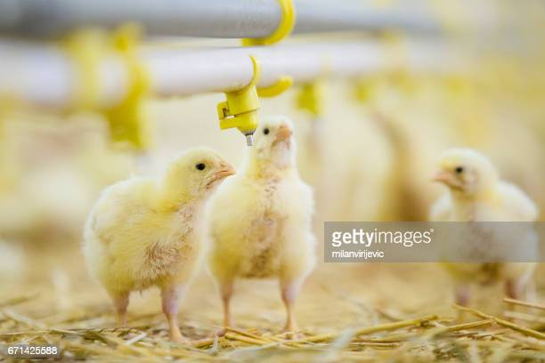 Few young yellow chickens in barn